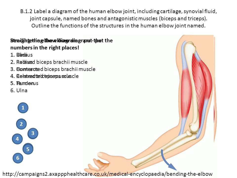 B.1.2 Label a diagram of the human elbow joint, including cartilage, synovial fluid, joint capsule, named bones and antagonistic muscles (biceps and triceps). Outline the functions of the structures in the human elbow joint named.