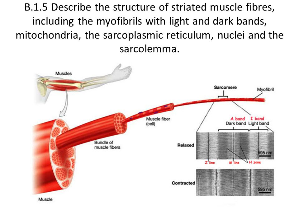 B.1.5 Describe the structure of striated muscle fibres, including the myofibrils with light and dark bands, mitochondria, the sarcoplasmic reticulum, nuclei and the sarcolemma.