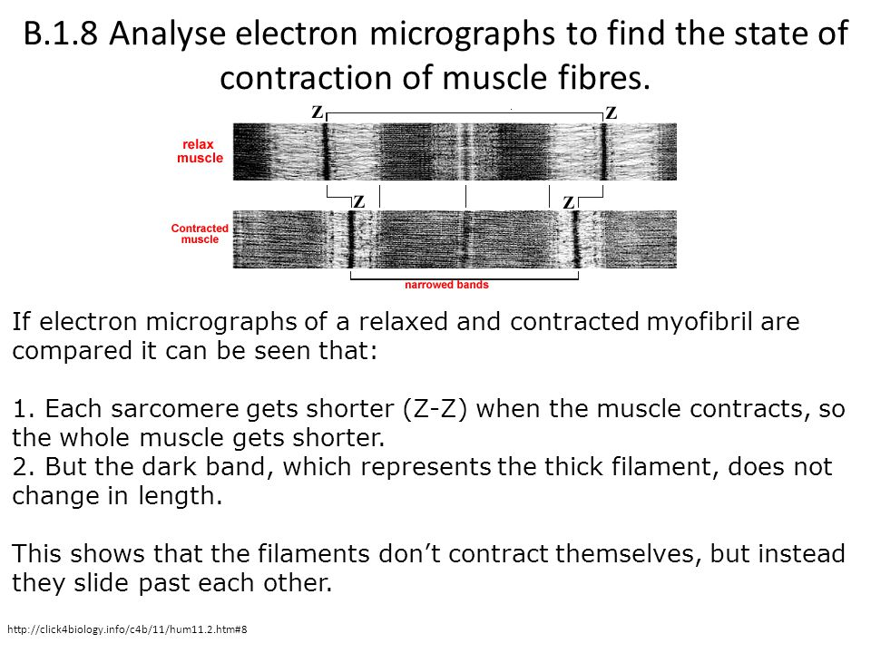 B.1.8 Analyse electron micrographs to find the state of contraction of muscle fibres.