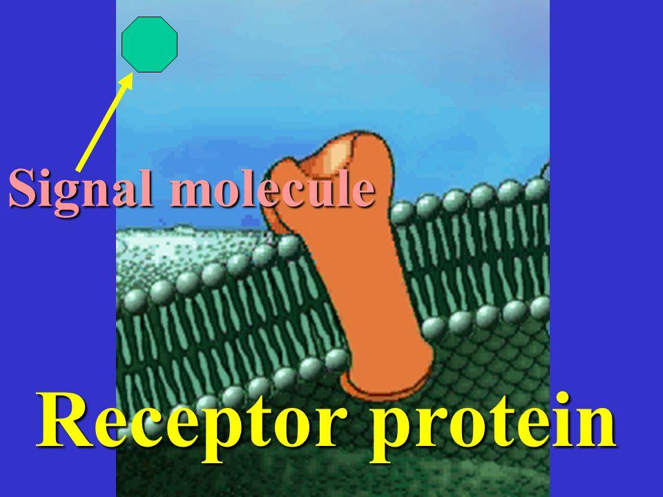 Signal molecule Receptor protein