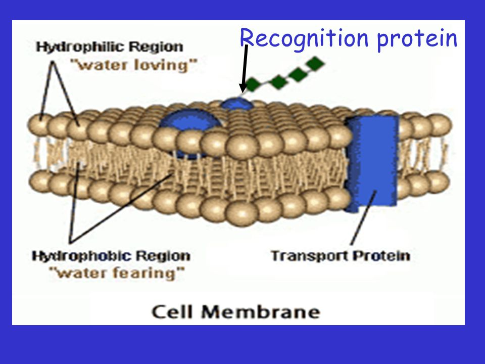 Recognition protein