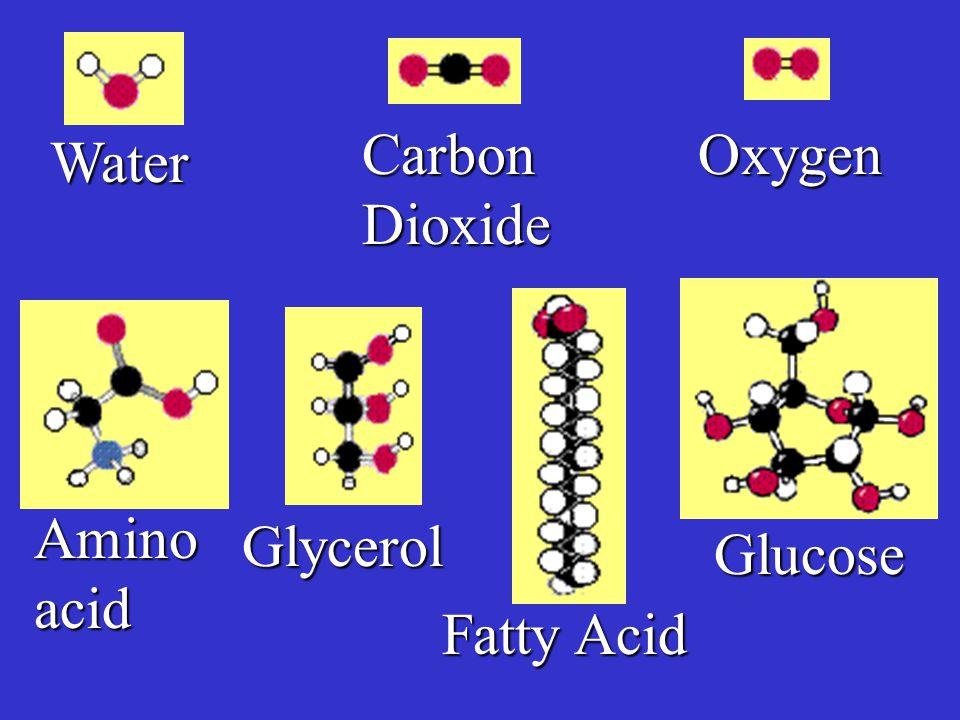 Carbon Dioxide Oxygen Water Amino acid Glycerol Glucose Fatty Acid
