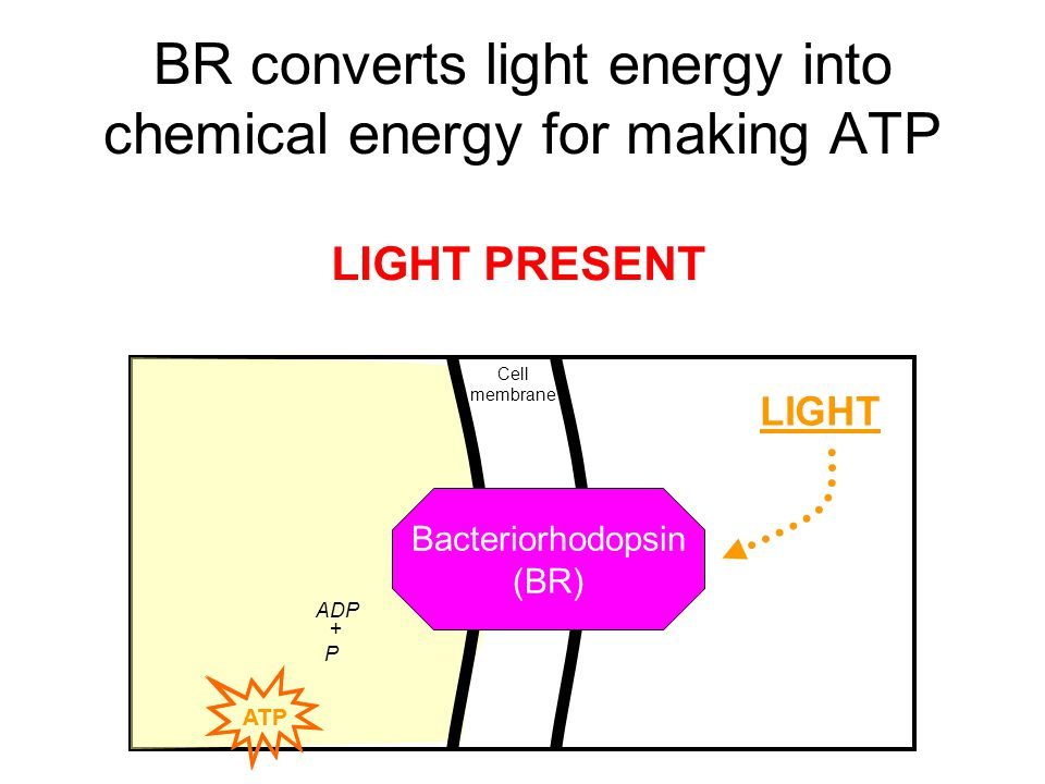 BR converts light energy into chemical energy for making ATP