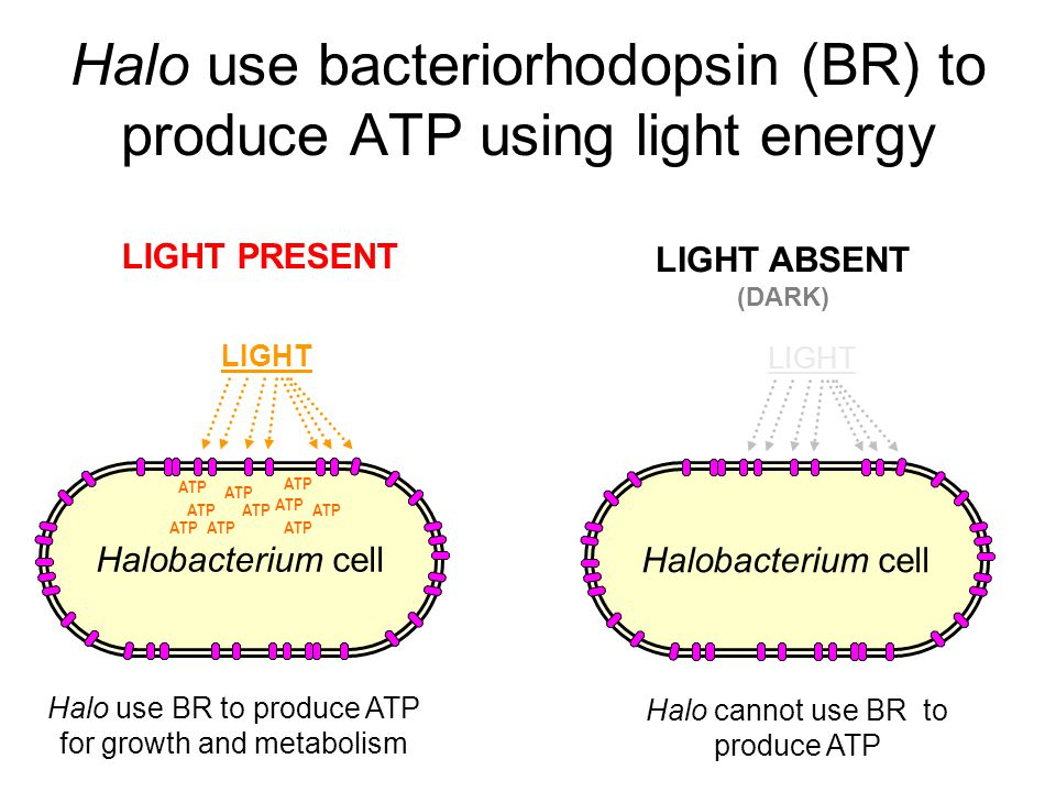Halo use bacteriorhodopsin (BR) to produce ATP using light energy