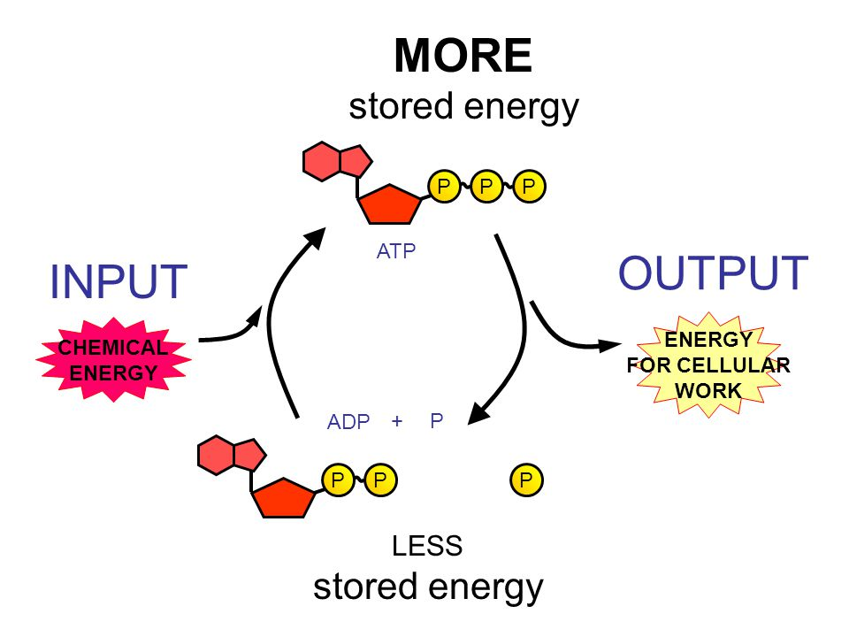 MORE OUTPUT INPUT stored energy stored energy LESS P ATP ENERGY