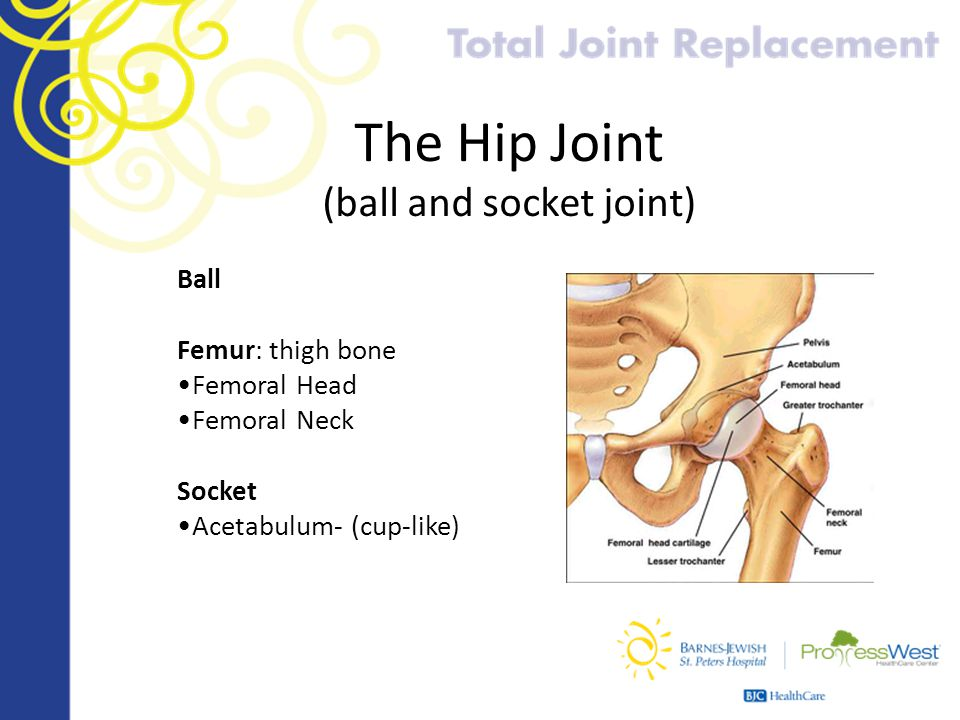 The Hip Joint (ball and socket joint)