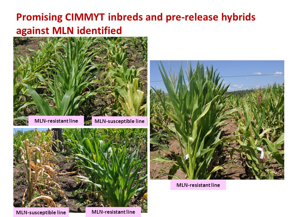 Promising CIMMYT inbreds and pre-release hybrids against MLN identified