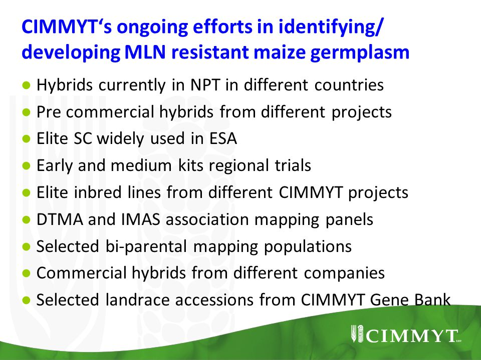 CIMMYT's ongoing efforts in identifying/ developing MLN resistant maize germplasm