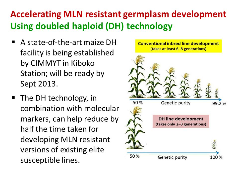 Accelerating MLN resistant germplasm development