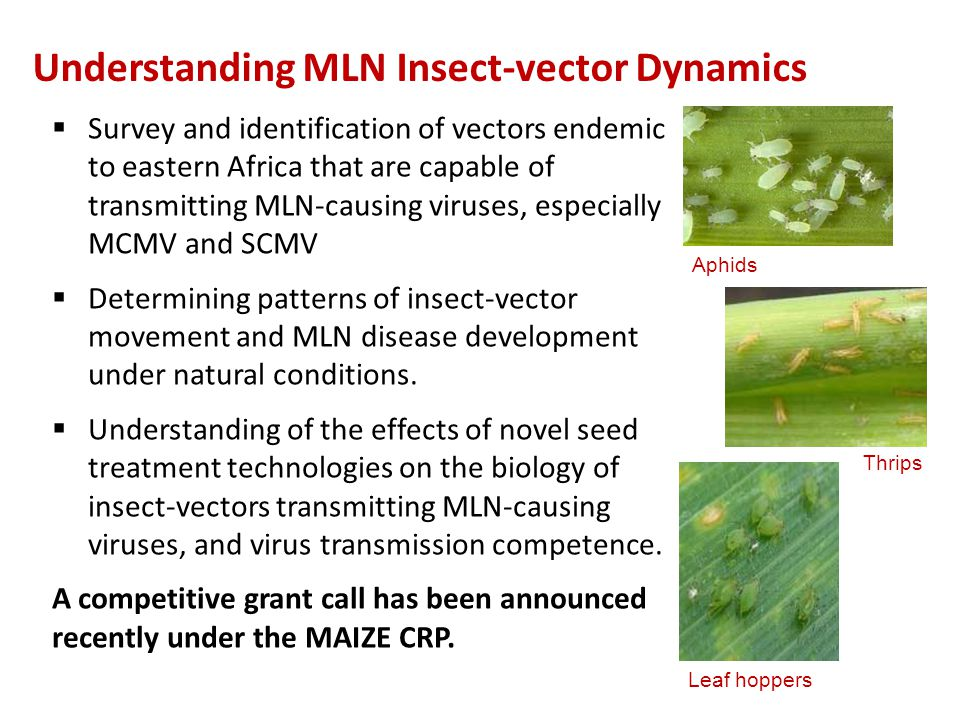 Understanding MLN Insect-vector Dynamics
