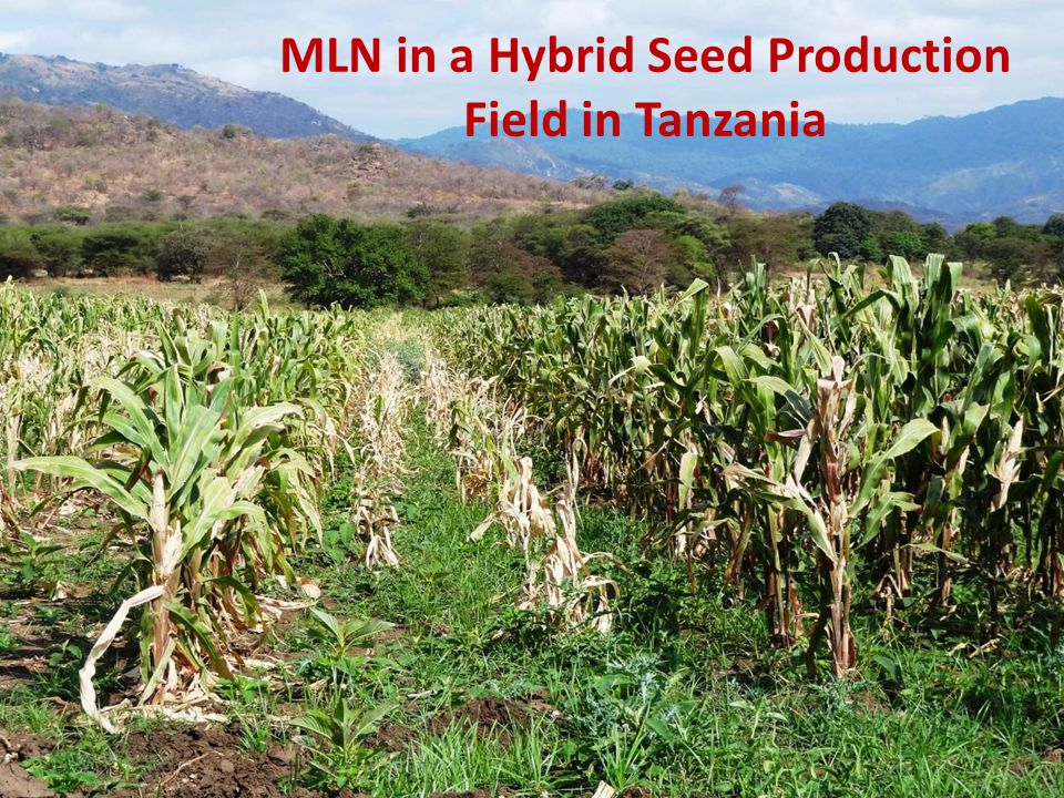 MLN in a Hybrid Seed Production Field in Tanzania