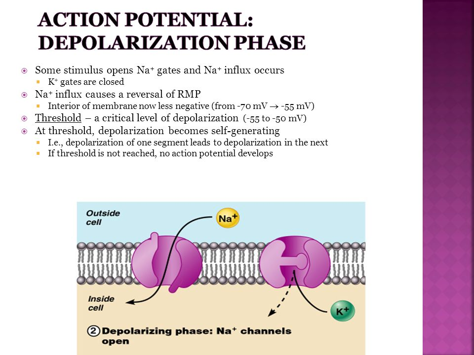 Action Potential: Depolarization Phase