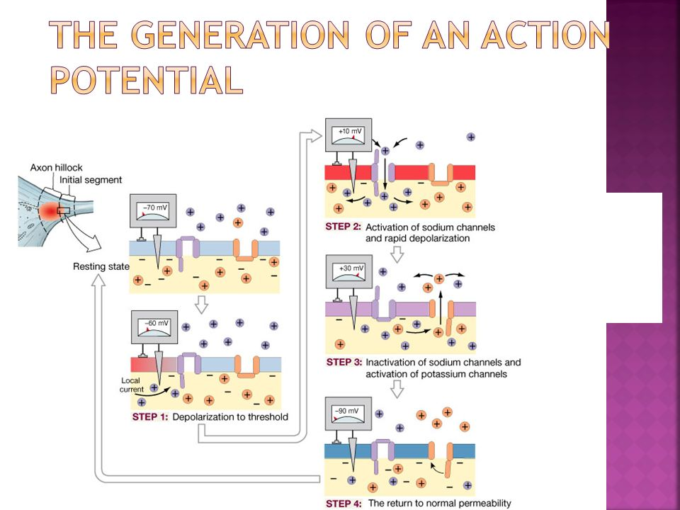 The Generation of an Action Potential