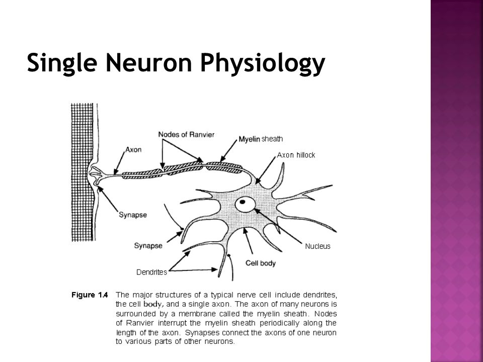 Single Neuron Physiology