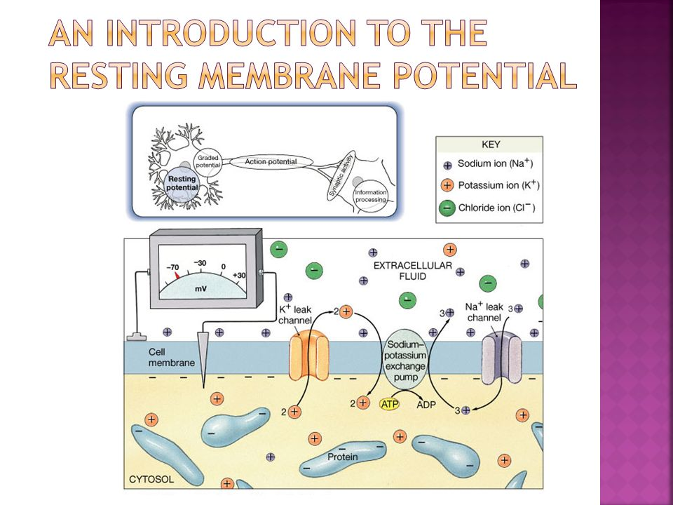 An Introduction to the Resting Membrane Potential