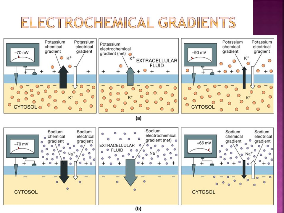 Electrochemical Gradients