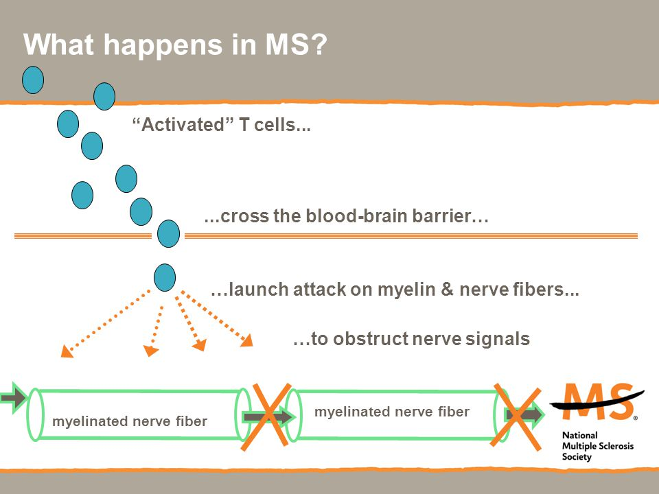 What happens in MS ...cross the blood-brain barrier…