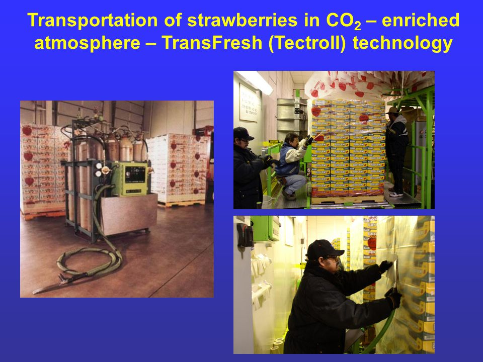 Transportation of strawberries in CO2 – enriched atmosphere – TransFresh (Tectroll) technology