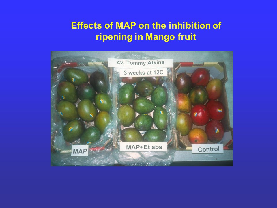 Effects of MAP on the inhibition of ripening in Mango fruit