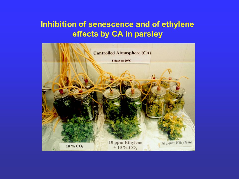 Inhibition of senescence and of ethylene effects by CA in parsley