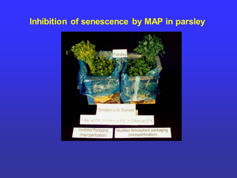 Inhibition of senescence by MAP in parsley