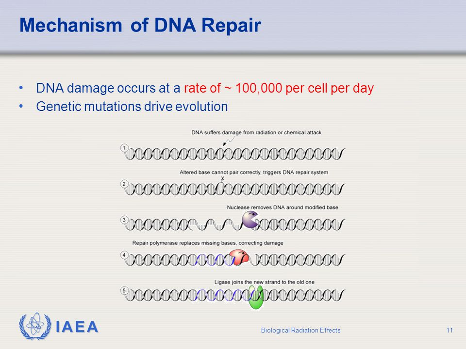 Mechanism of DNA Repair