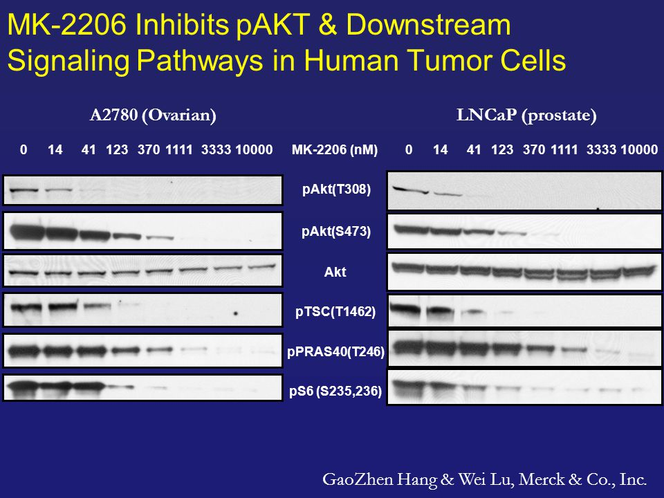 MK-2206 Inhibits pAKT & Downstream Signaling Pathways in Human Tumor Cells