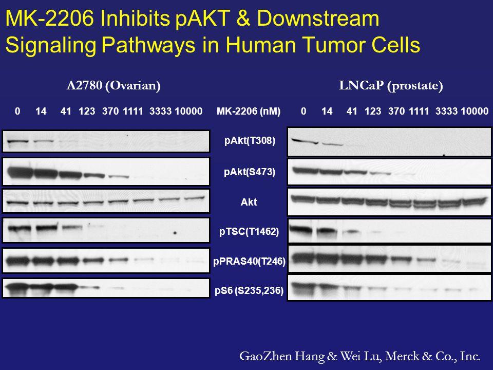 MK-2206 Inhibits pAKT & Downstream Signaling Pathways in Human Tumor Cells