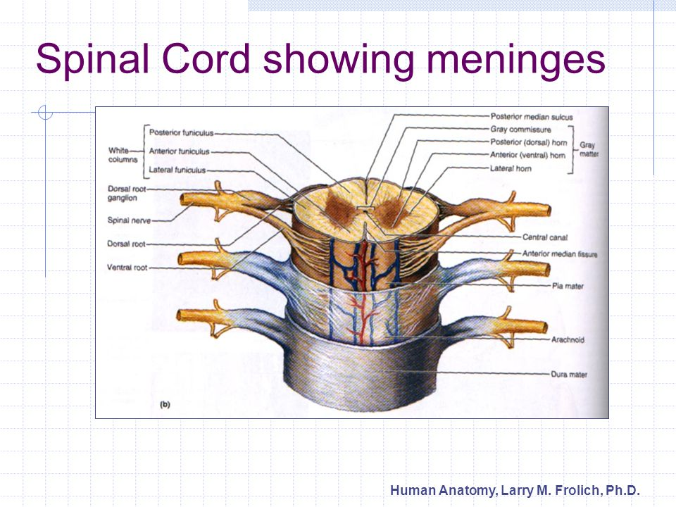Spinal Cord showing meninges