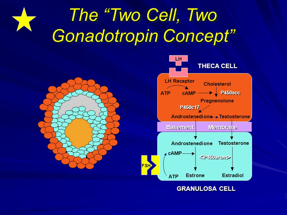 The Two Cell, Two Gonadotropin Concept