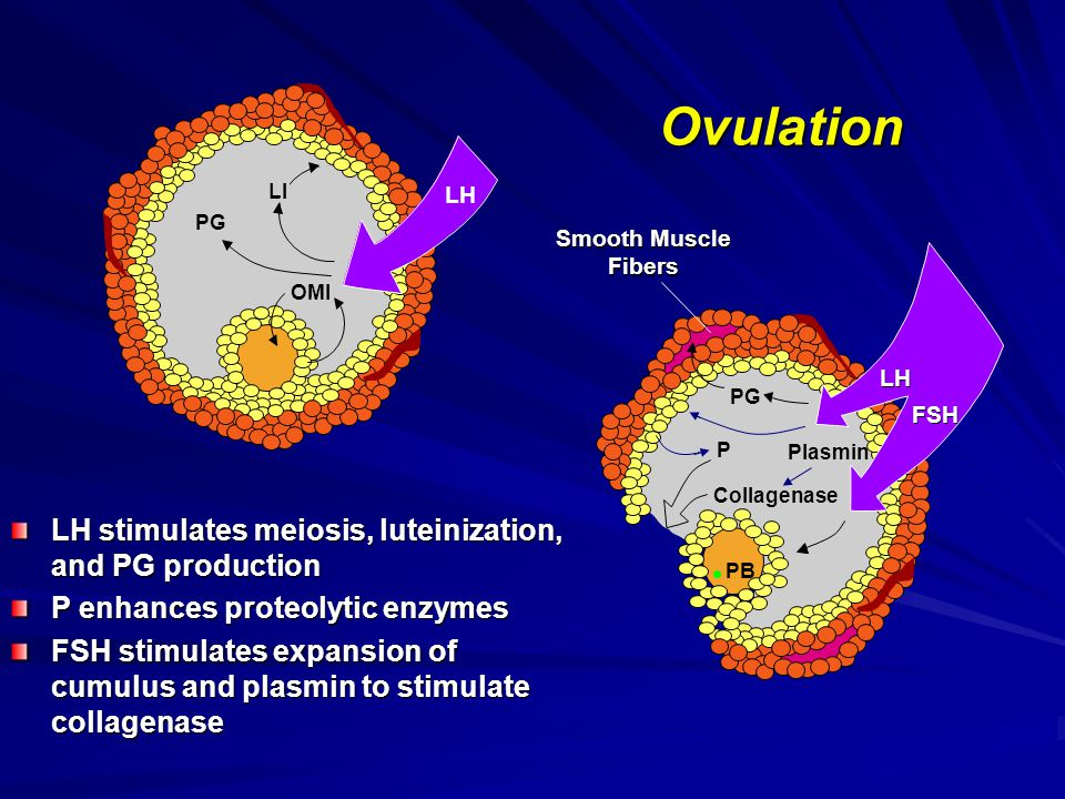 Ovulation LH stimulates meiosis, luteinization, and PG production