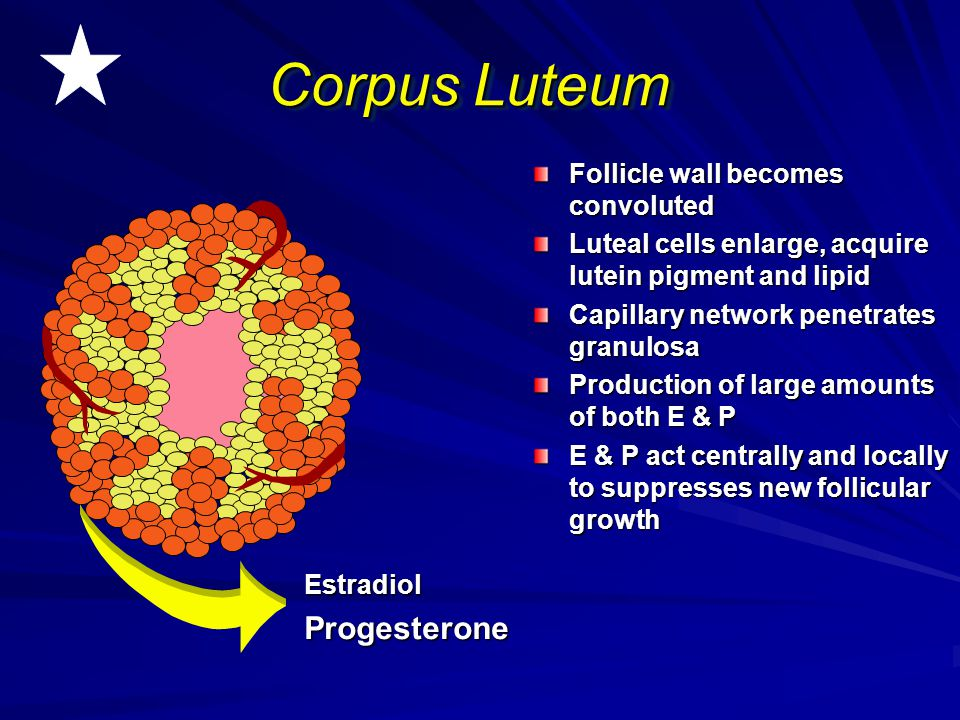 Corpus Luteum Progesterone Follicle wall becomes convoluted