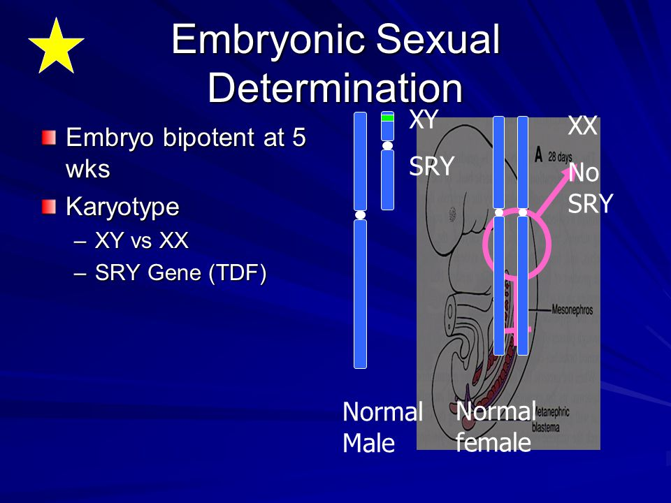 Embryonic Sexual Determination