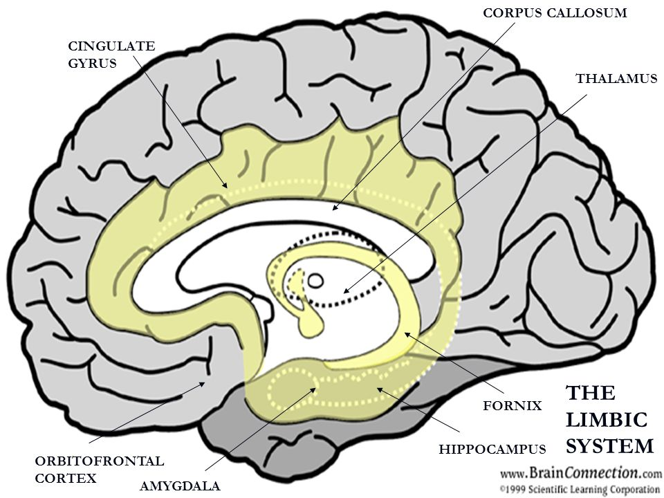 THE LIMBIC SYSTEM CORPUS CALLOSUM CINGULATE GYRUS THALAMUS FORNIX