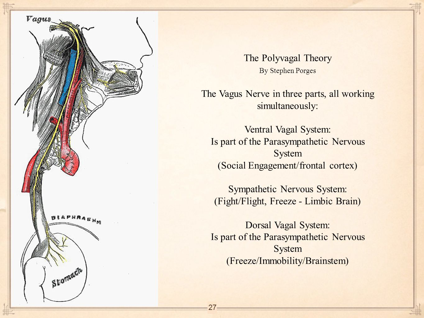 The Vagus Nerve in three parts, all working simultaneously: