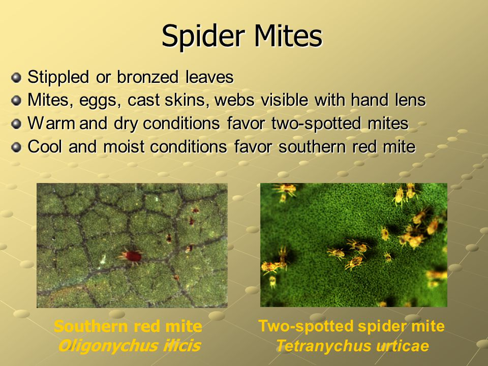 Spider Mites Stippled or bronzed leaves
