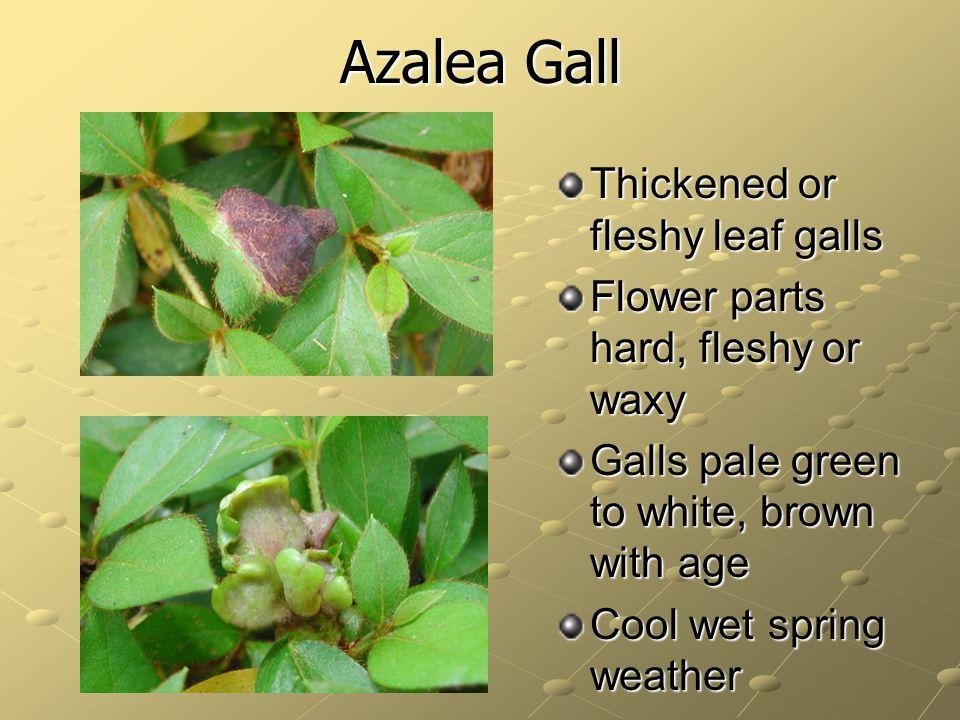 Azalea Gall Thickened or fleshy leaf galls