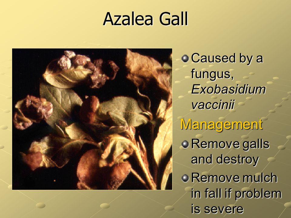 Azalea Gall Management Caused by a fungus, Exobasidium vaccinii