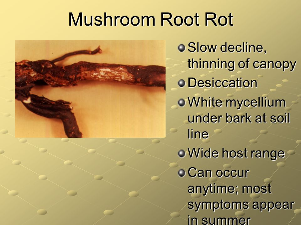 Mushroom Root Rot Slow decline, thinning of canopy Desiccation