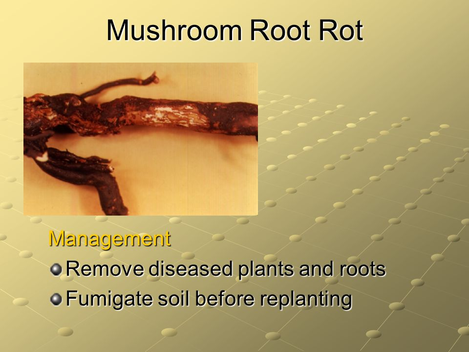 Mushroom Root Rot Management Remove diseased plants and roots