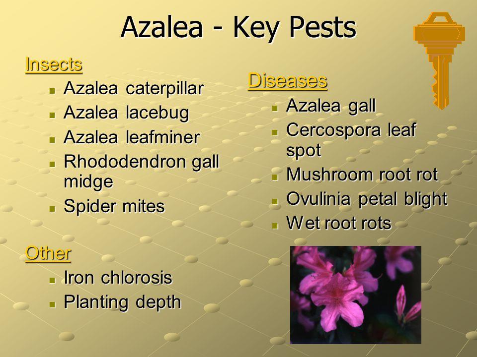 Azalea - Key Pests Diseases Insects Azalea caterpillar Azalea lacebug
