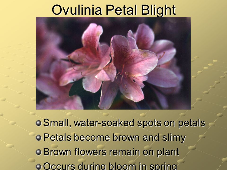 Ovulinia Petal Blight Small, water-soaked spots on petals