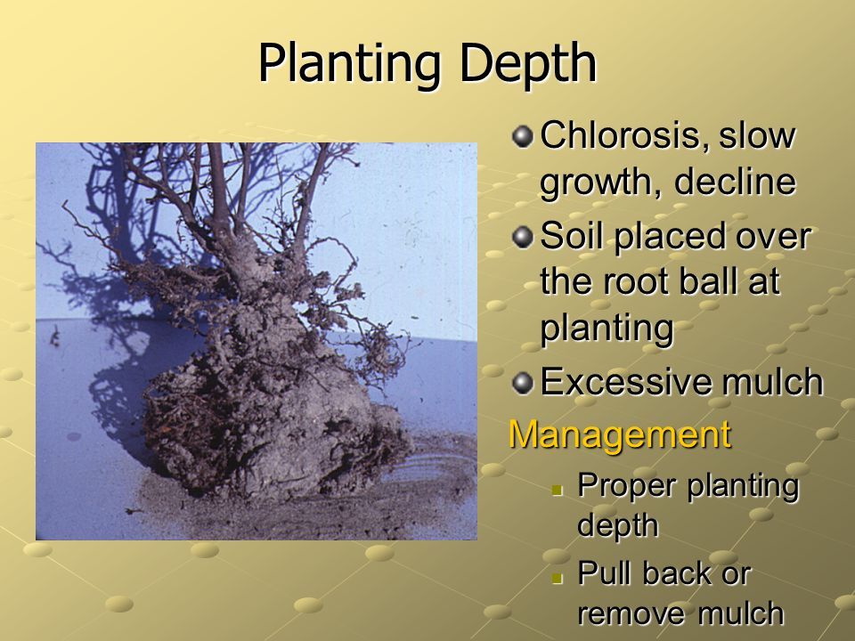 Planting Depth Chlorosis, slow growth, decline