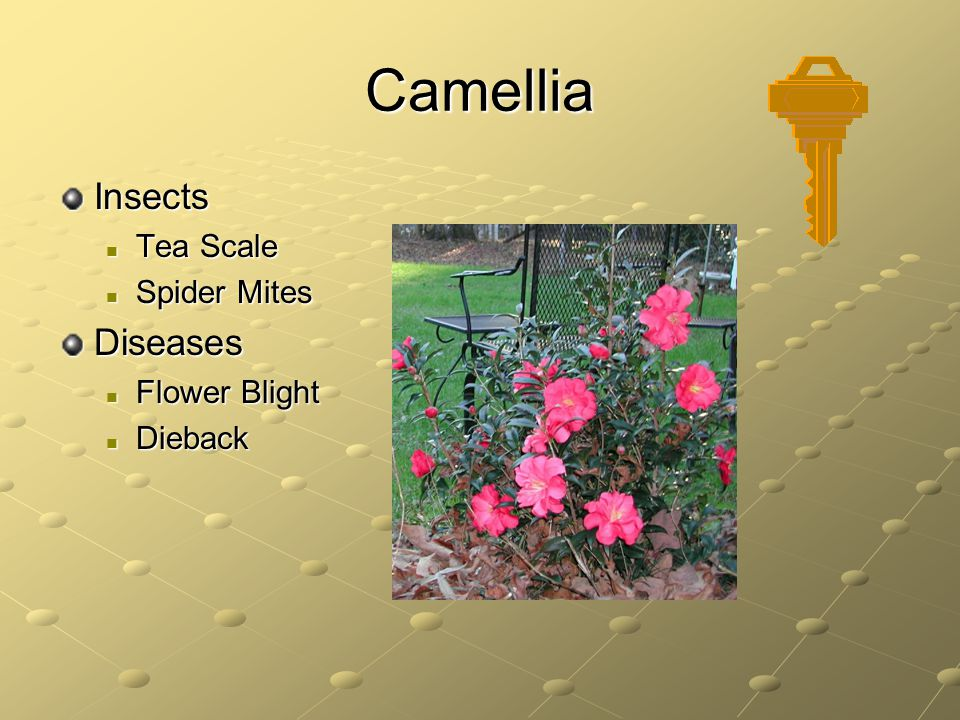 Camellia Insects Tea Scale Spider Mites Diseases Flower Blight Dieback