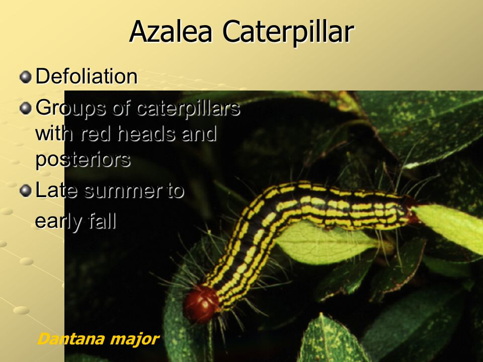 Azalea Caterpillar Defoliation