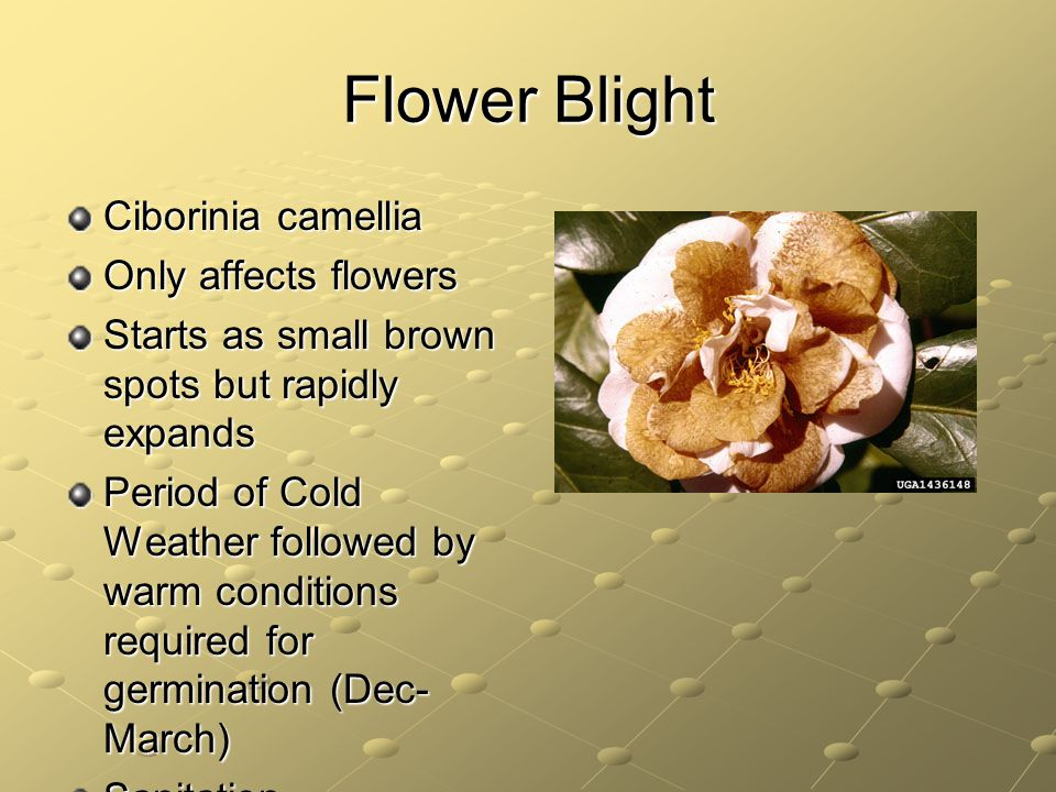 Flower Blight Ciborinia camellia Only affects flowers