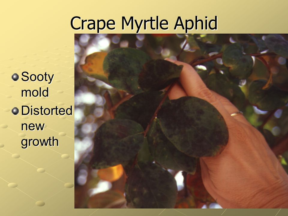 Crape Myrtle Aphid Sooty mold Distorted new growth