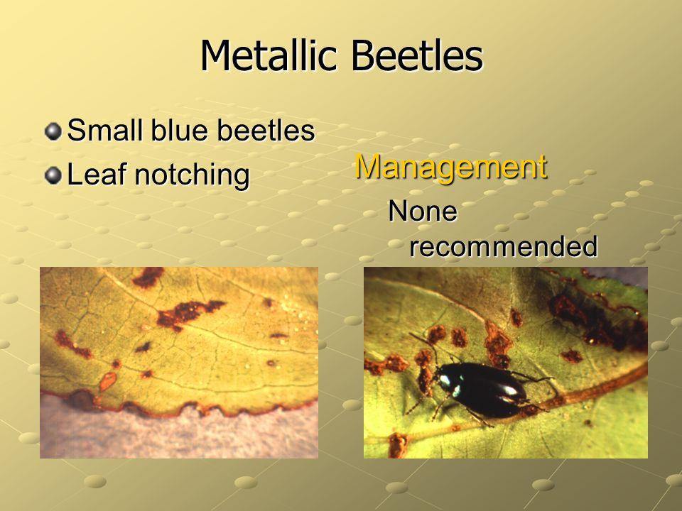 Metallic Beetles Management Small blue beetles Leaf notching