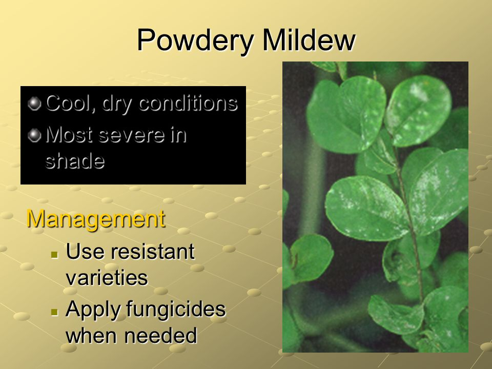 Powdery Mildew Management Cool, dry conditions Most severe in shade