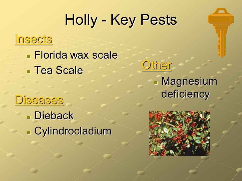 Holly - Key Pests Insects Other Diseases Florida wax scale Tea Scale